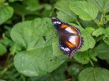 Pojedynczy motyli obsiadanie na zielonych liściach zdjęcia stock