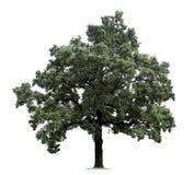pojedynczy ogromne drzewo Zdjęcia Royalty Free