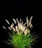 pojedynczy ornamentacyjny czarnej trawy obraz stock