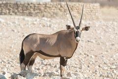 Pojedynczy Oryx Gazella & x28; Gemsbok& x29; przy articicial waterhole Fotografia Royalty Free