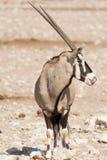 Pojedynczy Oryx Gazella & x28; Gemsbok& x29; przy articicial waterhole Obrazy Royalty Free