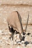 Pojedynczy Oryx Gazella & x28; Gemsbok& x29; przy articicial waterhole Zdjęcie Royalty Free