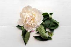 Pojedynczy peonia kwiat Obraz Royalty Free