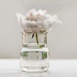 Pojedynczy peonia kwiat Fotografia Stock
