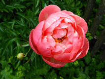 Pojedynczy peonia kwiat z raindrops ogródem publicznie Obrazy Royalty Free