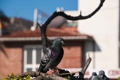 Pojedynczy piękny gołąb z ładnym zieleni i purpur grzebieniem siedzi na multilevel gałąź zdjęcia stock