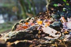 Pojedynczy pieczarkowy białego grzyba przedpole, buk opuszcza w jesieni słońca lasowych Złotych promieniach w pomarańczowych liśc zdjęcia royalty free