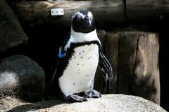 Pojedynczy pingwin w zoo Zdjęcie Royalty Free