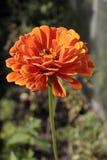 Pojedynczy pomarańczowy kwiat na długim badylu zdjęcie royalty free