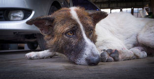 Pojedynczy przybłąkani psy wychudli Fotografia Royalty Free