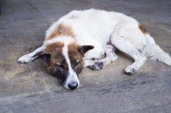 Pojedynczy przybłąkani psy wychudli Zdjęcia Royalty Free