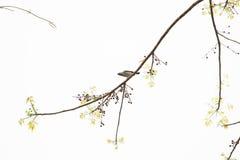 Pojedynczy ptak na gałąź z liśćmi i jagodami Zdjęcie Royalty Free
