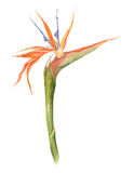 Pojedynczy ptak raj, strelizia tropikalny kwiat, akwareli botaniczna ilustracja Fotografia Royalty Free