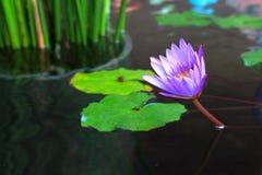 Pojedynczy Purpurowy Lotus Fotografia Royalty Free