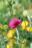 Pojedynczy różowy łąkowy kwiat Zdjęcia Stock