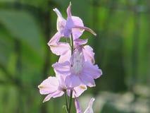 Pojedynczy Różowy kwiatu Larkspur rośliny zbliżenie Obrazy Stock