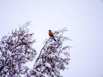 Pojedynczy rudzik Umieszczający na szczycieFAL TG0 0N w tym stadium śnieg Zakrywać gałąź Obraz Stock