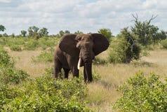 Pojedynczy słoń w Kruger parku narodowym Obrazy Stock