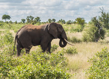 Pojedynczy słoń w Kruger parku narodowym Fotografia Stock