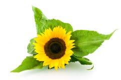 pojedynczy słonecznik Zdjęcie Stock