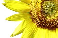 pojedynczy słonecznik Fotografia Stock
