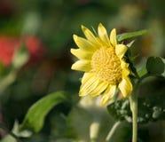 pojedynczy słonecznik obraz royalty free