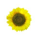 pojedynczy słonecznik Zdjęcie Royalty Free