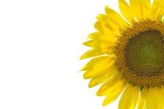pojedynczy słonecznik Zdjęcia Royalty Free