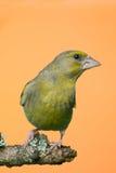 Pojedynczy samiec Greenfinch ptak umieszczający na gałąź Fotografia Stock