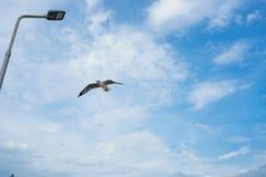 Pojedynczy seagull latanie w niebie jako tło przy Bangpoo zdjęcie stock