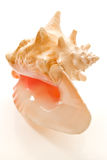 pojedynczy seashell duży Obraz Royalty Free