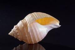 Pojedynczy seashell odizolowywający na czarnym tle Fotografia Stock