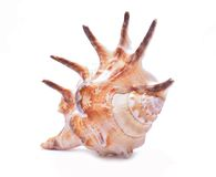 pojedynczy seashell tła white Fotografia Royalty Free
