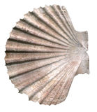 pojedynczy seashell white fotografia royalty free