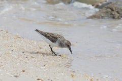 Pojedynczy Semipalmated Sandpipers i Tarłowi podkowa kraby na Delaware zatoki plaży zdjęcie stock