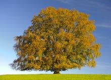 Pojedynczy stary bukowy drzewo w medow przy spadkiem Fotografia Stock