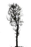 Pojedynczy stary i nieżywy drzewo na białym tle Obrazy Royalty Free