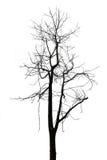 Pojedynczy stary i nieżywy drzewo na białym tle Zdjęcia Royalty Free