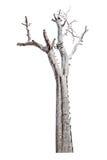 Pojedynczy stary i nieżywy drzewo odizolowywający na białym tle z zakończeniem Obraz Royalty Free