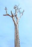 Pojedynczy stary i nieżywy drzewo z niebieskim niebem Obraz Royalty Free