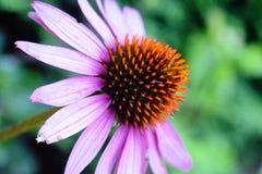 Pojedynczy Szyszkowy kwiat Zdjęcia Royalty Free