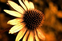 Pojedynczy szyszkowy kwiat sepiowy Zdjęcie Stock