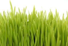 pojedynczy trawy słodkiej white Zdjęcia Royalty Free