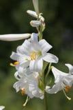 Pojedynczy trzon z buczeć kwitnie od lilium na zielonym tle Obraz Stock
