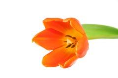 pojedynczy tulipan obrazy royalty free