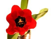pojedynczy tulipan Zdjęcia Royalty Free