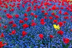 pojedynczy tulipanowy kolor żółty zdjęcia stock
