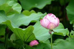 Pojedynczy, wciąż zamykający pączek wodna leluja w Kyoto, obraz royalty free