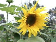 pojedynczy white kwiatek słońca fotografia stock
