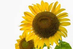 pojedynczy white kwiatek słońca Zdjęcia Royalty Free